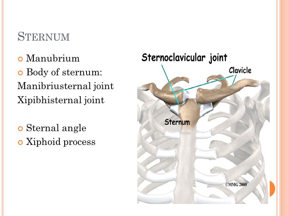 S TERNUM Manubrium Body of sternum: Manibriusternal joint Xipibhisternal joint Sternal angle Xiphoid process