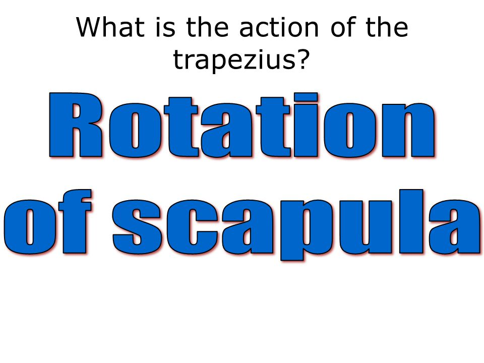 What is the action of the trapezius?