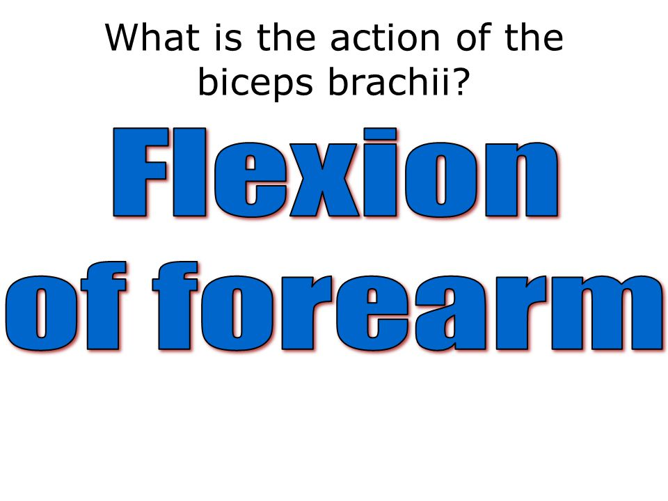 What is the action of the biceps brachii?