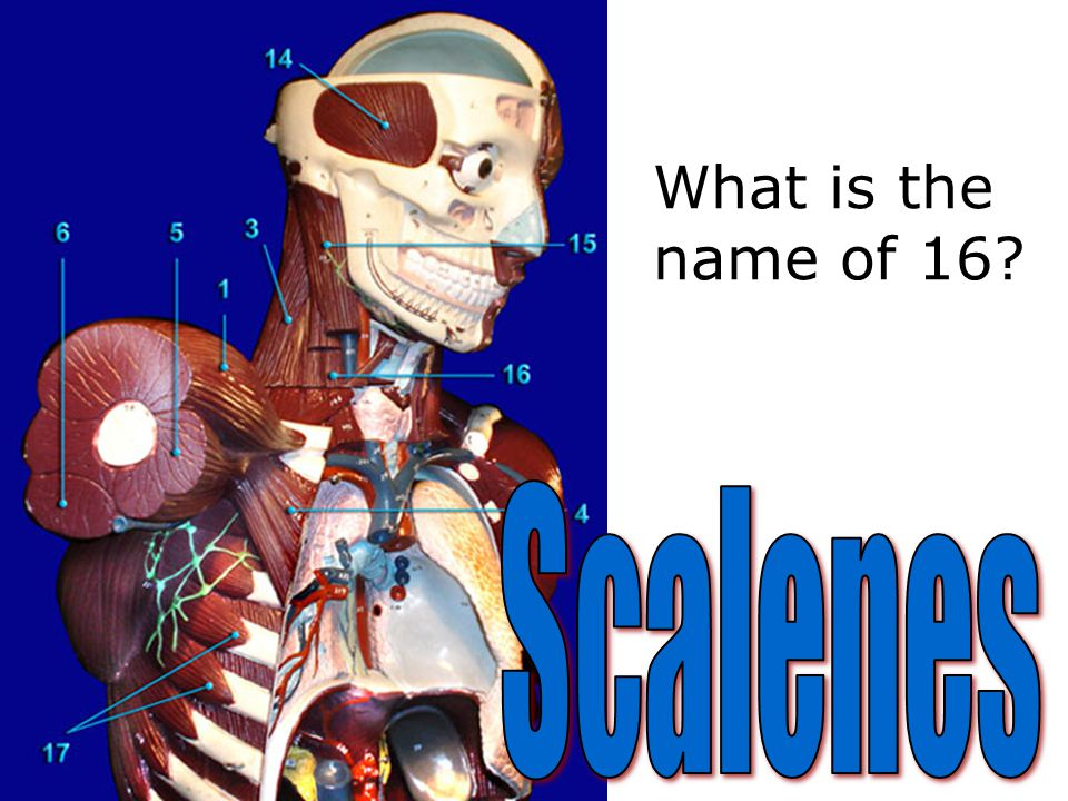 What is the name of muscle #5?