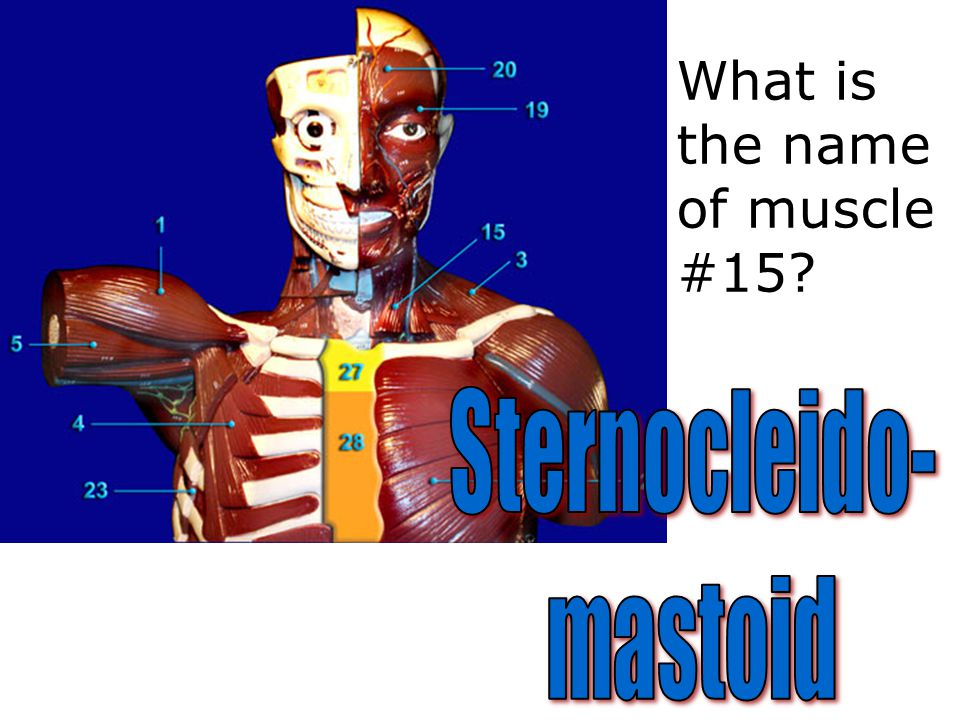 What is the name of muscle #15?