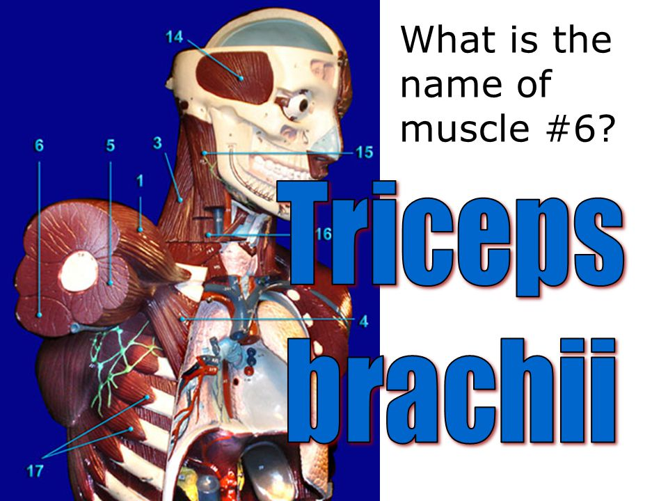 What is the name of muscle #6?