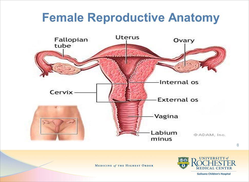 Female Reproductive Anatomy 8