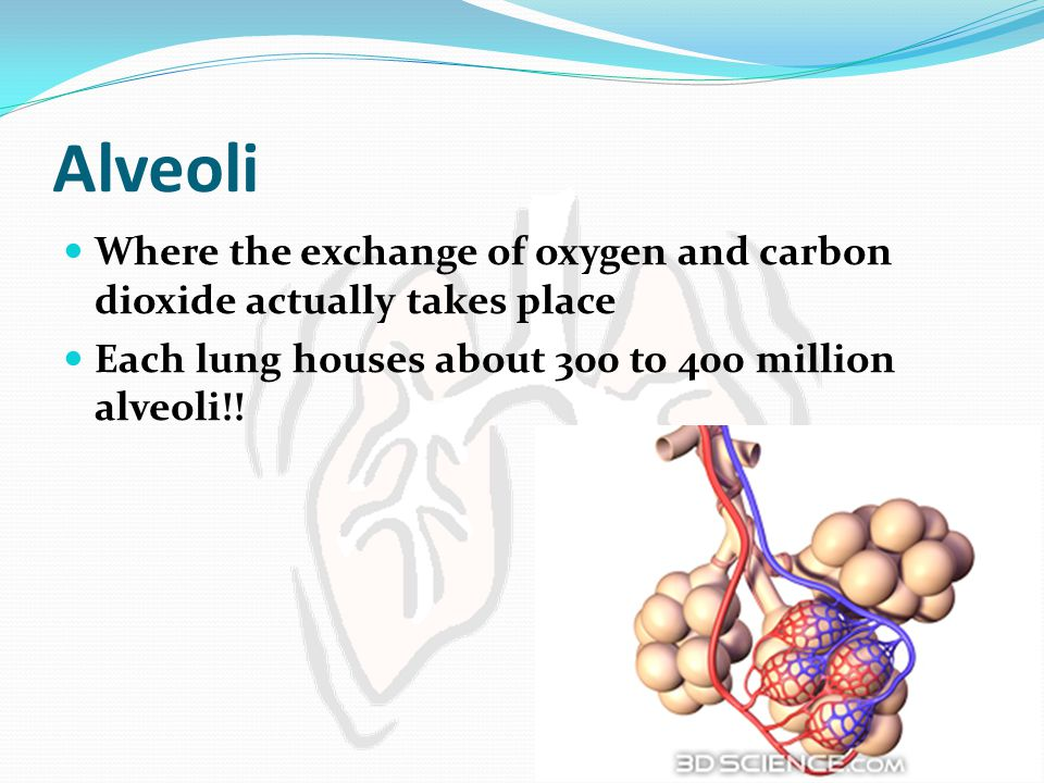 Alveoli Where the exchange of oxygen and carbon dioxide actually takes place Each lung houses about 300 to 400 million alveoli!!