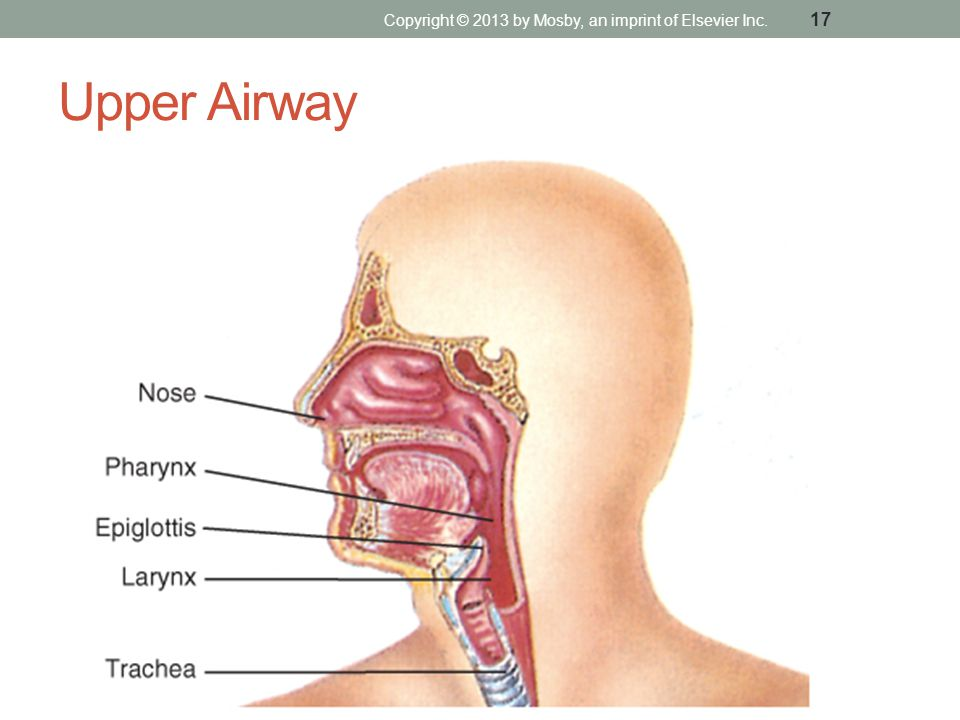 Upper Airway Copyright © 2013 by Mosby, an imprint of Elsevier Inc. 17