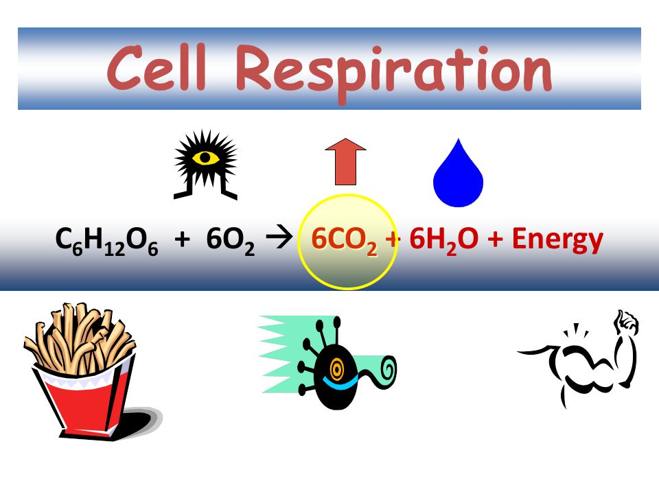 Respiration Food + Oxygen  CO 2 + water + ENERGY Glucose + O 2  CO 2 + water + ENERGY C 6 H 12 O 6 + O 2  CO 2 + H 2 O + ENERGY C 6 H 12 O 6 + 6O 2