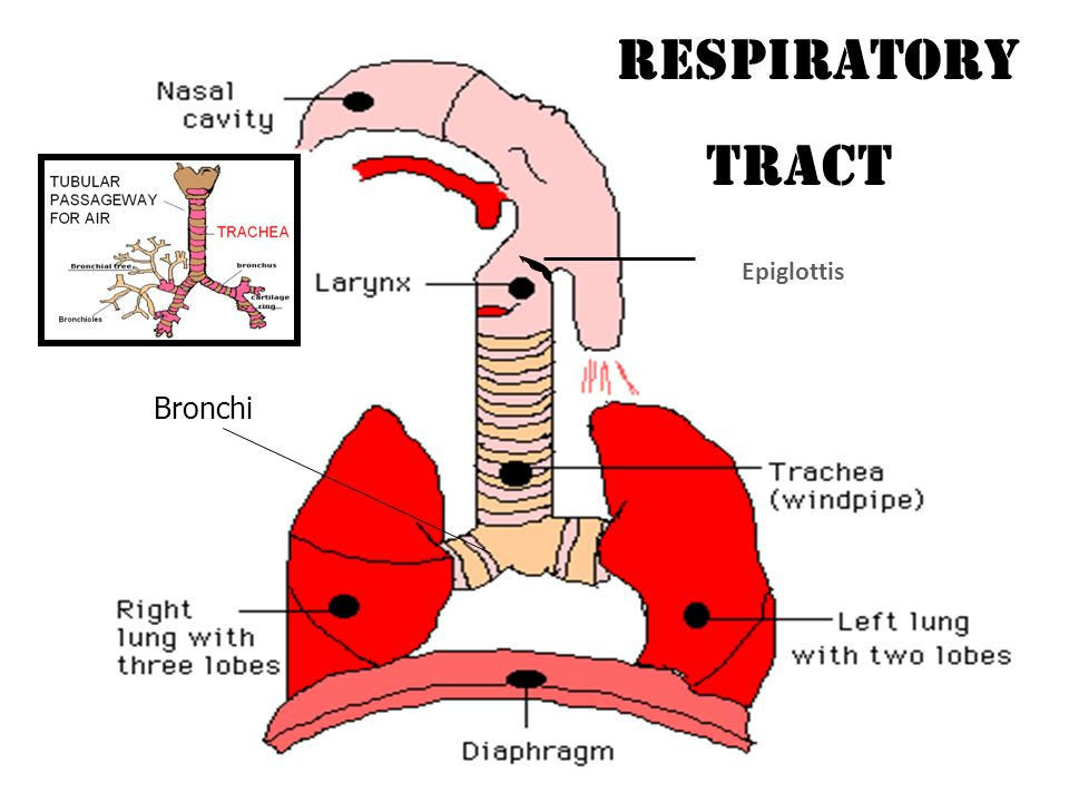 RESPIRATION External Internal Between environment and lungs Between blood and cell http://activity.ntsec.gov.tw/lifeworld/english/content/body_cc4.html