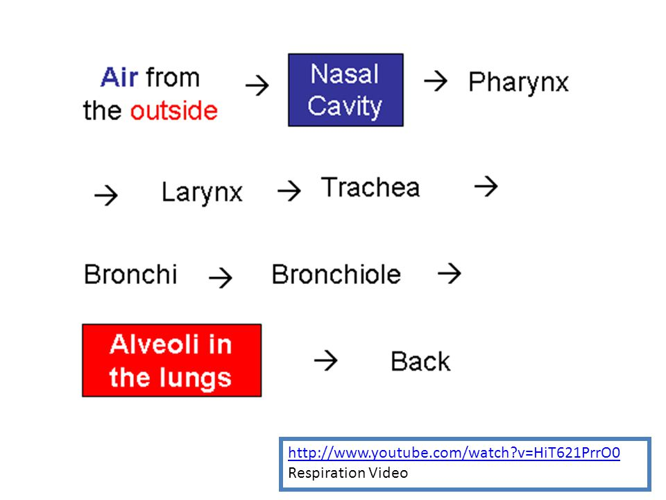 TRACHEA TUBULAR PASSAGEWAY FOR AIR Bronchioles