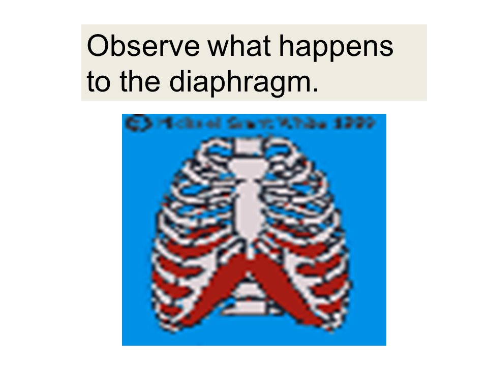 DIAPHRAGM Dome-shaped muscle attached to rib cage that contracts& flattens out during breathing