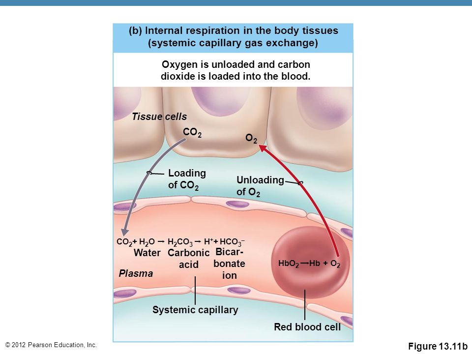 © 2012 Pearson Education, Inc. (b) Internal respiration in the body tissues (systemic capillary gas exchange) Oxygen is unloaded and carbon dioxide is