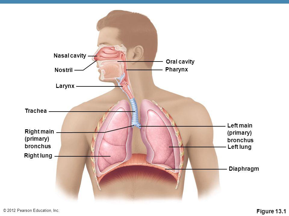 © 2012 Pearson Education, Inc. Nasal cavity Nostril Larynx Right main (primary) bronchus Trachea Right lung Oral cavity Pharynx Left main (primary) br