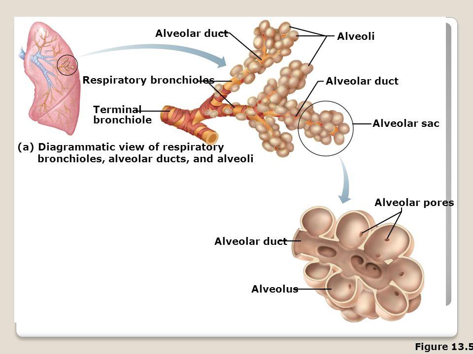 Alveolar duct Alveoli Alveolar duct Alveolar sac Alveolar pores Alveolar duct Alveolus (a) Diagrammatic view of respiratory bronchioles, alveolar duct