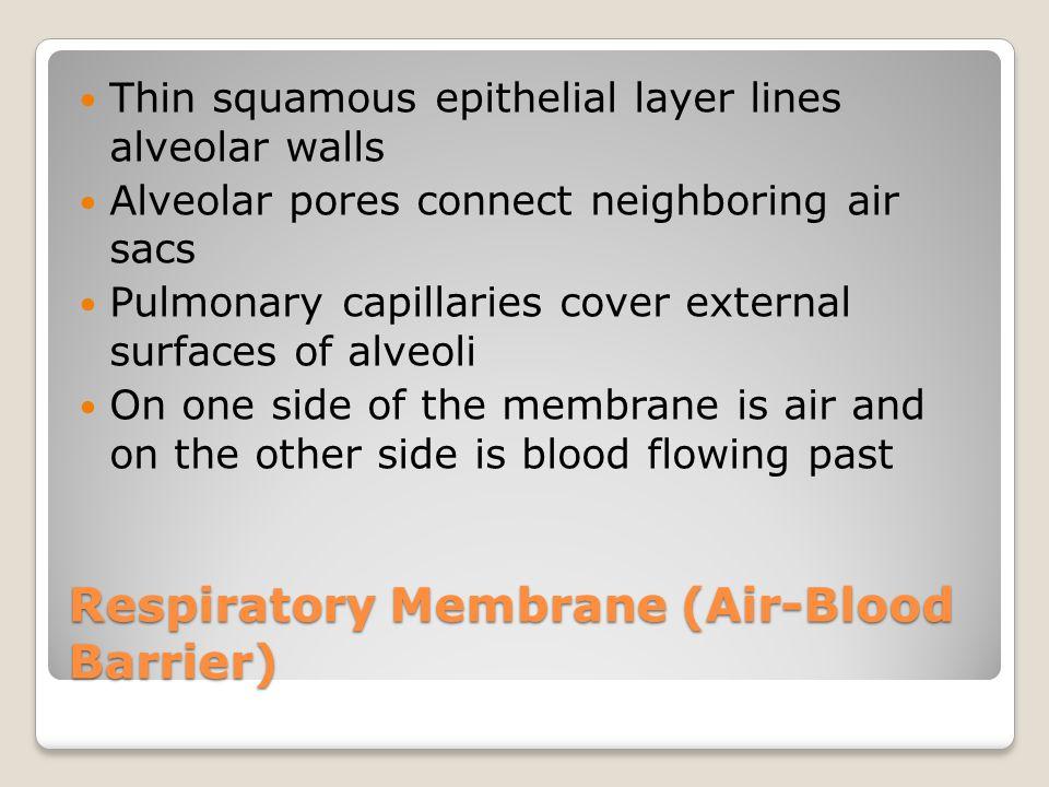 Respiratory Membrane (Air-Blood Barrier) Thin squamous epithelial layer lines alveolar walls Alveolar pores connect neighboring air sacs Pulmonary cap