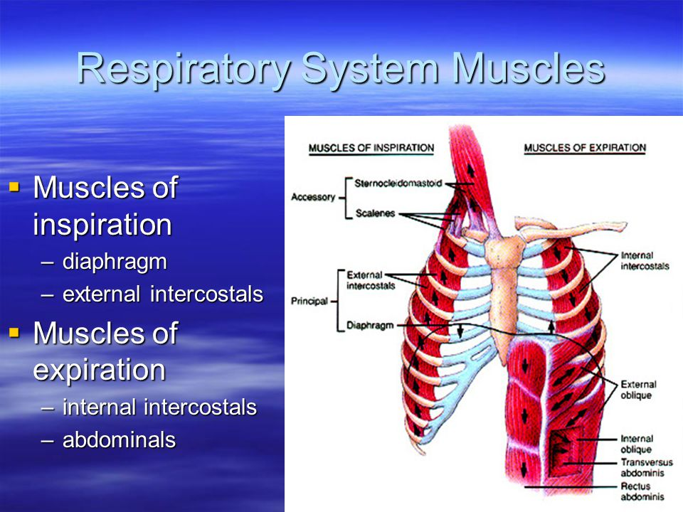 Respiratory System Muscles  Muscles of inspiration –diaphragm –external intercostals  Muscles of expiration –internal intercostals –abdominals