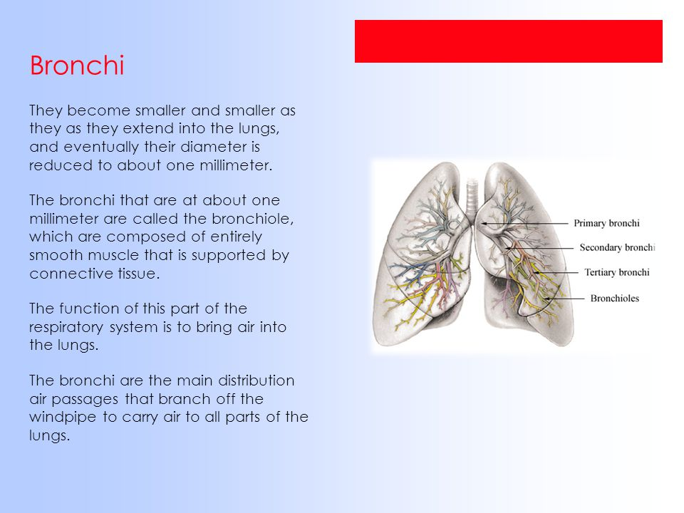 Bronchi They become smaller and smaller as they as they extend into the lungs, and eventually their diameter is reduced to about one millimeter. The b