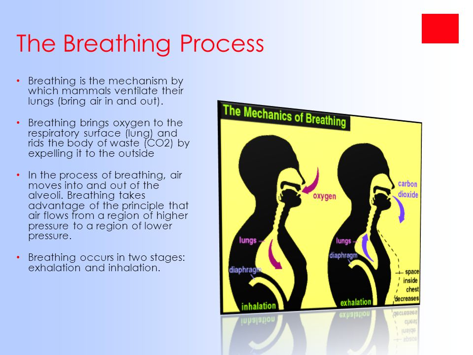 The Breathing Process Breathing is the mechanism by which mammals ventilate their lungs (bring air in and out). Breathing brings oxygen to the respira