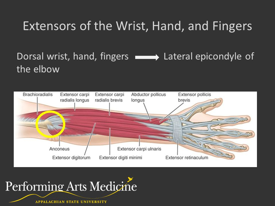 Extensors of the Wrist, Hand, and Fingers Dorsal wrist, hand, fingers Lateral epicondyle of the elbow