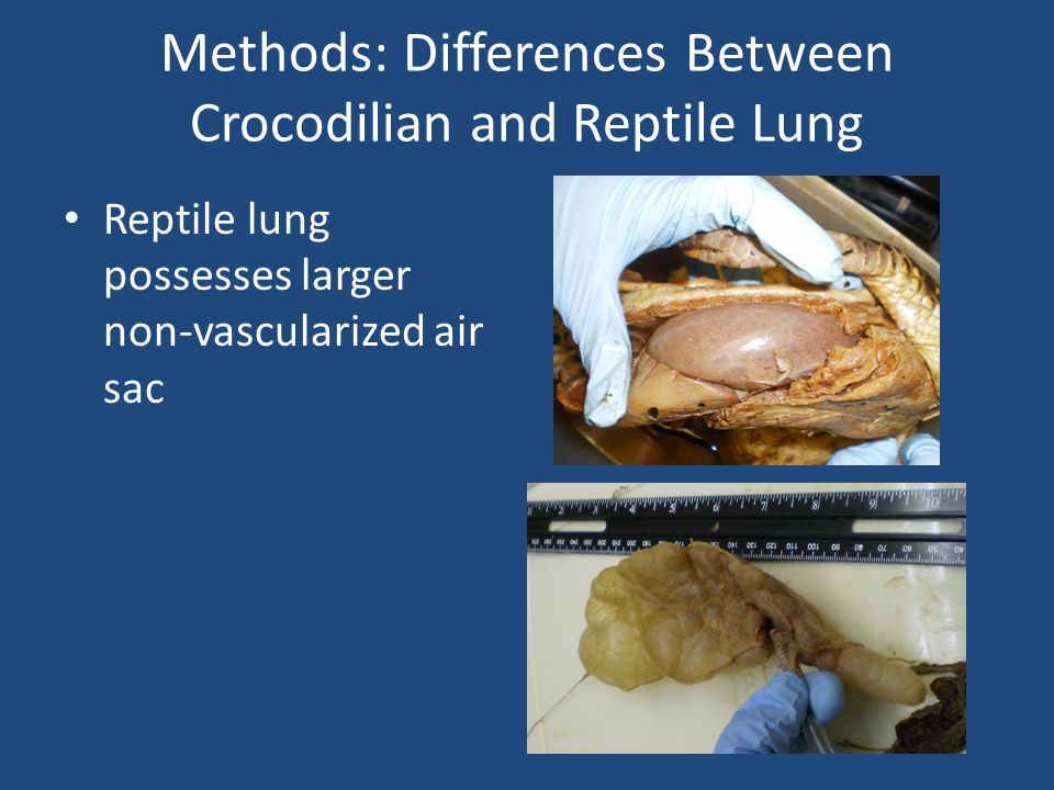 Methods: Differences Between Crocodilian and Reptile Lung Reptile lung possesses larger non-vascularized air sac