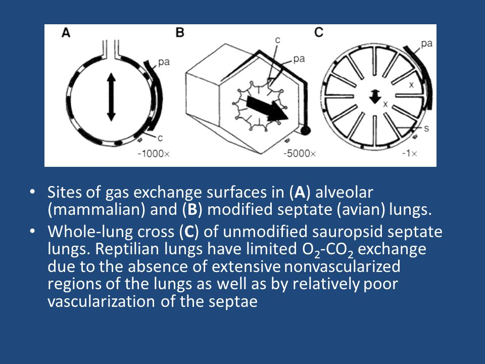 Sites of gas exchange surfaces in (A) alveolar (mammalian) and (B) modified septate (avian) lungs. Whole-lung cross (C) of unmodified sauropsid septat