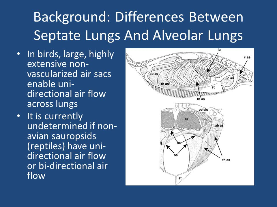 Background: Differences Between Septate Lungs And Alveolar Lungs In birds, large, highly extensive non- vascularized air sacs enable uni- directional