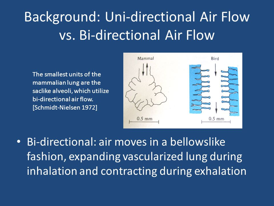 Background: Uni-directional Air Flow vs. Bi-directional Air Flow Bi-directional: air moves in a bellowslike fashion, expanding vascularized lung durin