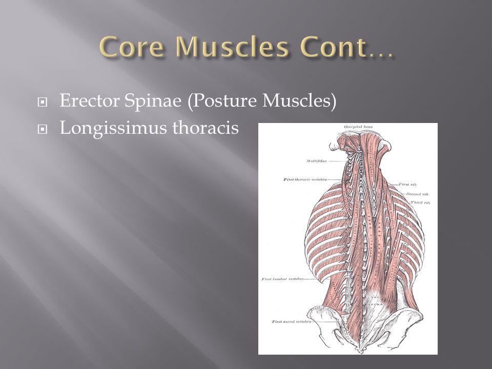  Erector Spinae (Posture Muscles)  Longissimus thoracis