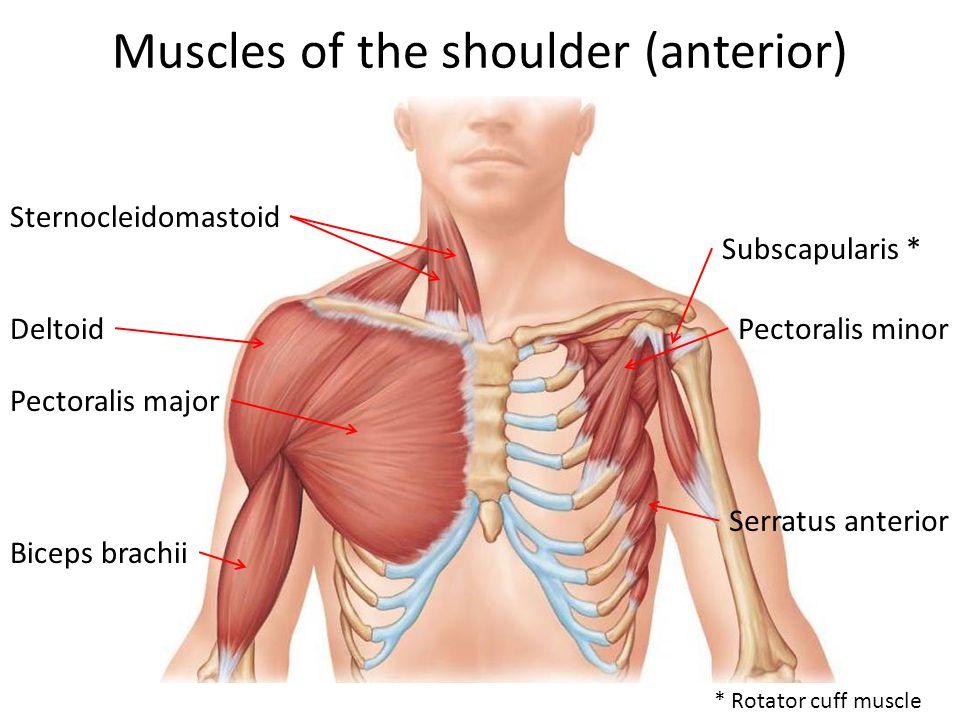 Muscles of the shoulder (anterior) Sternocleidomastoid Deltoid Pectoralis major Biceps brachii Subscapularis * Pectoralis minor Serratus anterior * Rotator cuff muscle