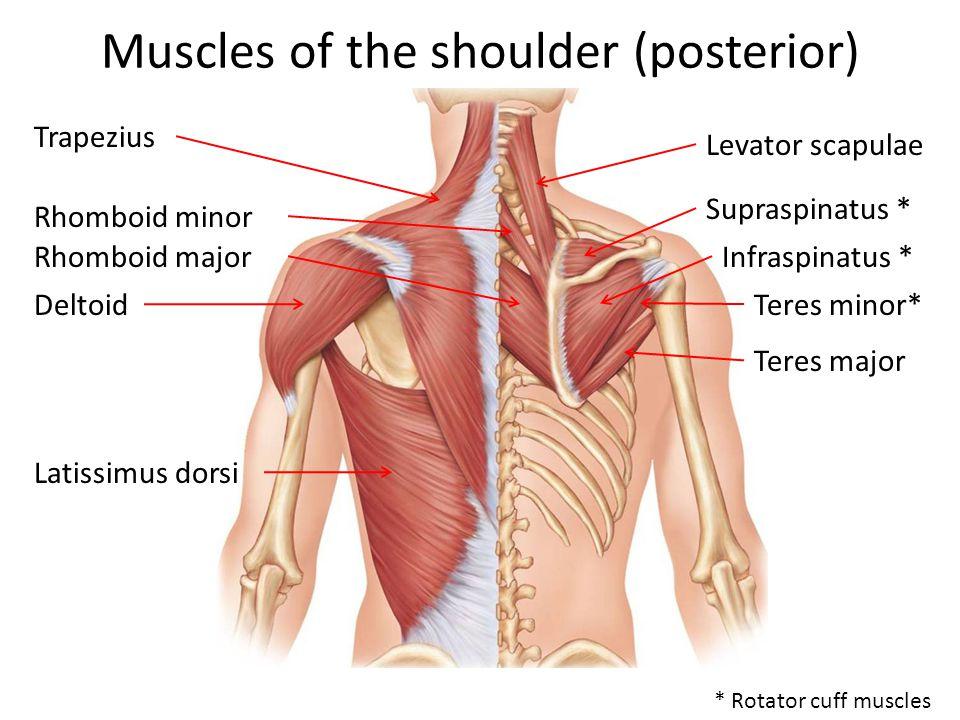 Muscles of the shoulder (posterior) Trapezius Levator scapulae * Rotator cuff muscles Rhomboid minor Rhomboid major Supraspinatus * Infraspinatus * Teres minor* Teres major Deltoid Latissimus dorsi