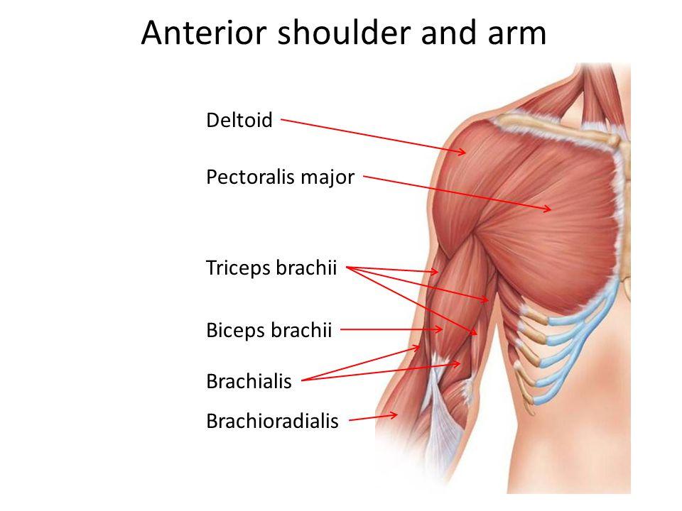 Anterior shoulder and arm Deltoid Pectoralis major Triceps brachii Biceps brachii Brachialis Brachioradialis
