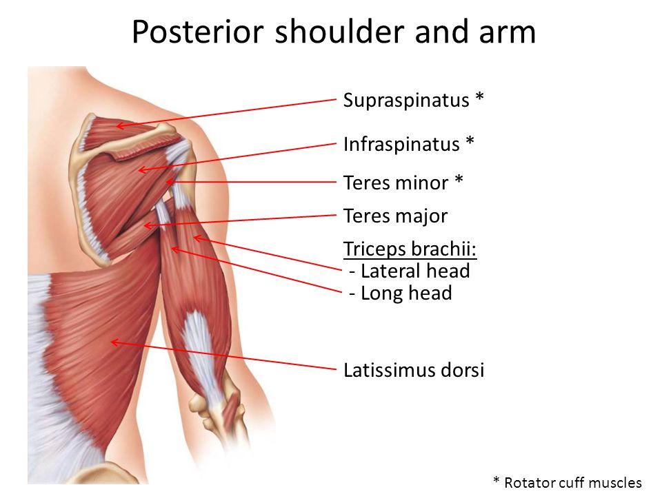Posterior shoulder and arm Supraspinatus * Infraspinatus * Teres minor * Teres major Triceps brachii: Latissimus dorsi - Lateral head - Long head * Rotator cuff muscles