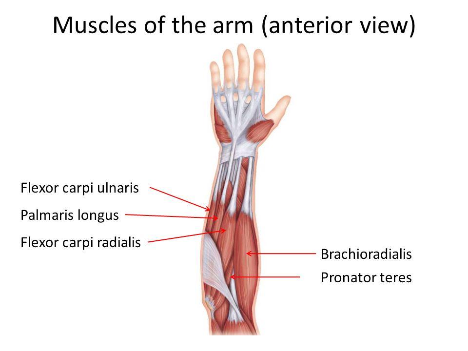 Muscles of the arm (anterior view) Flexor carpi ulnaris Palmaris longus Flexor carpi radialis Brachioradialis Pronator teres