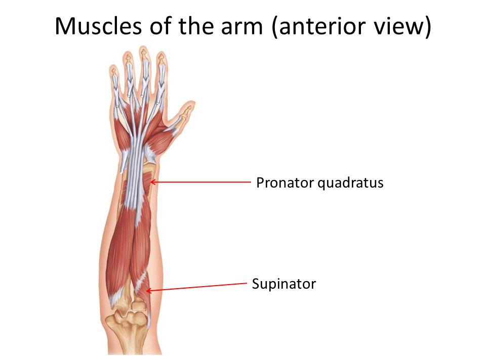 Muscles of the arm (anterior view) Pronator quadratus Supinator