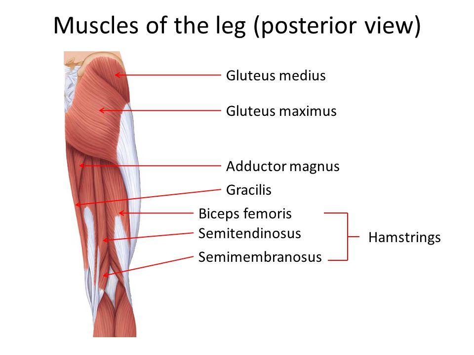 Muscles of the leg (posterior view) Gluteus medius Gluteus maximus Adductor magnus Gracilis Biceps femoris Semitendinosus Semimembranosus Hamstrings