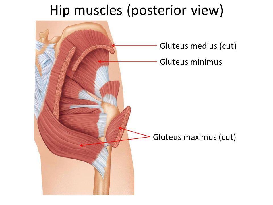 Hip muscles (posterior view) Gluteus medius (cut) Gluteus minimus Gluteus maximus (cut)