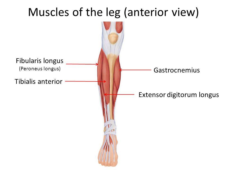 Muscles of the leg (anterior view) Fibularis longus (Peroneus longus) Gastrocnemius Tibialis anterior Extensor digitorum longus