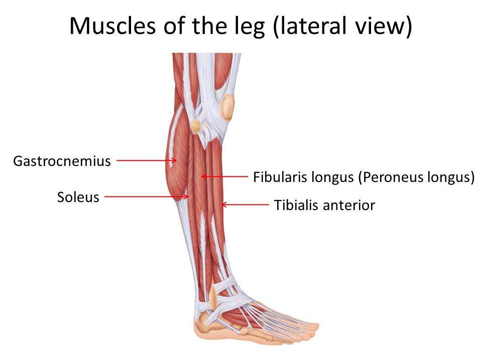 Muscles of the leg (lateral view) Gastrocnemius Soleus Fibularis longus (Peroneus longus) Tibialis anterior