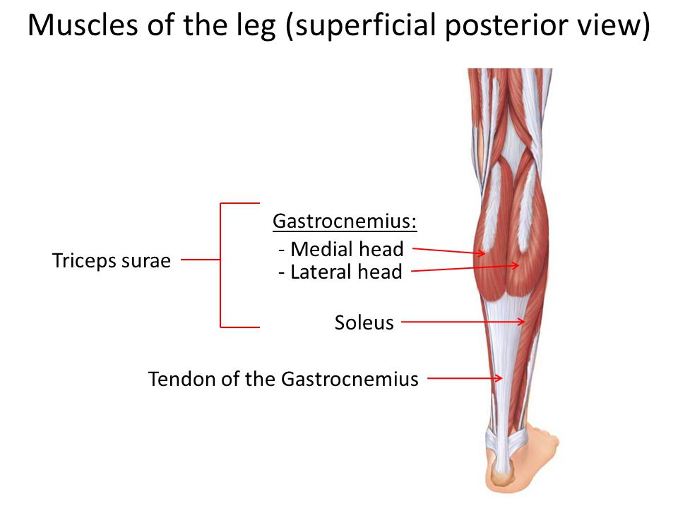Muscles of the leg (superficial posterior view) Gastrocnemius: - Medial head - Lateral head Tendon of the Gastrocnemius Soleus Triceps surae