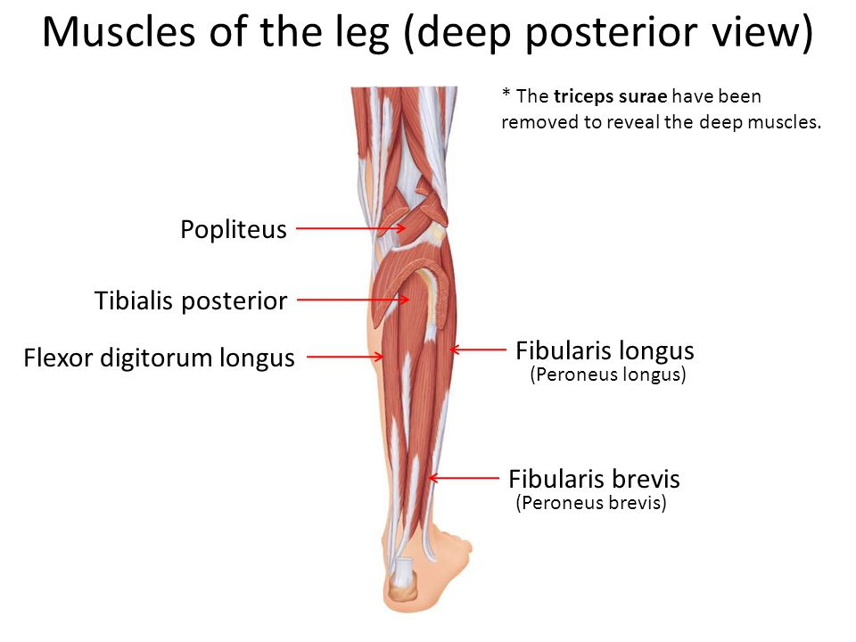 Muscles of the leg (deep posterior view) Popliteus * The triceps surae have been removed to reveal the deep muscles.