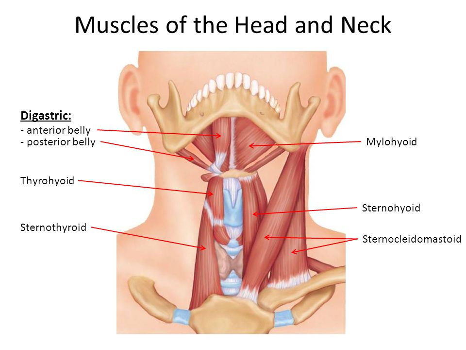Muscles of the Head and Neck Digastric: - anterior belly - posterior bellyMylohyoid Thyrohyoid Sternothyroid Sternohyoid Sternocleidomastoid