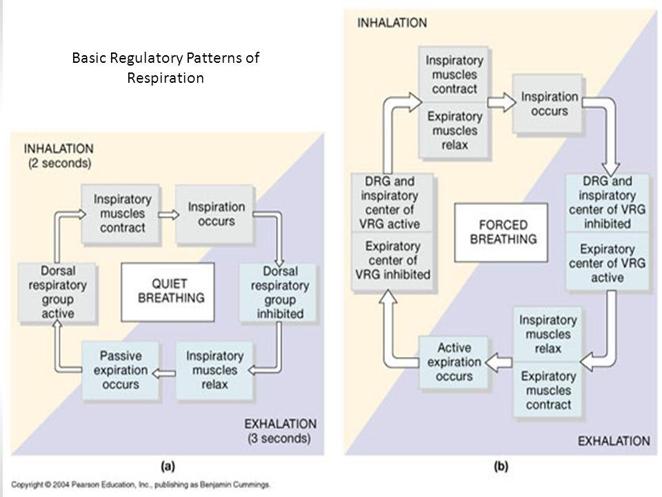 Basic Regulatory Patterns of Respiration
