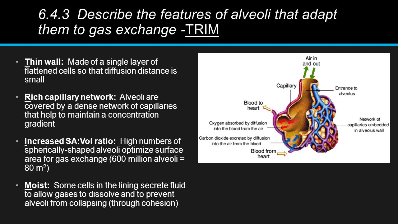 6.4.3 Describe the features of alveoli that adapt them to gas exchange -TRIM Thin wall: Made of a single layer of flattened cells so that diffusion distance is small Rich capillary network: Alveoli are covered by a dense network of capillaries that help to maintain a concentration gradient Increased SA:Vol ratio: High numbers of spherically-shaped alveoli optimize surface area for gas exchange (600 million alveoli = 80 m 2 ) Moist: Some cells in the lining secrete fluid to allow gases to dissolve and to prevent alveoli from collapsing (through cohesion)
