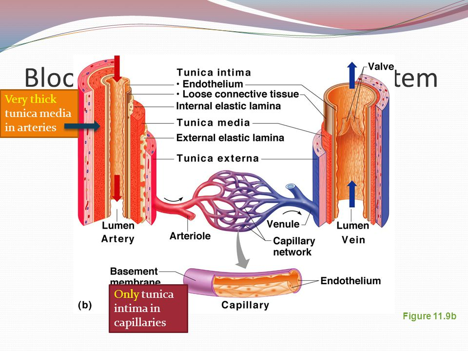 Blood Vessel TunicDescription Tunica intimaMost internal tunic; Its smooth surface decreases friction Tunica mediaBulky middle tunic contains smooth muscle and elastin; Tunica externa (adventia)Most superficial tunic
