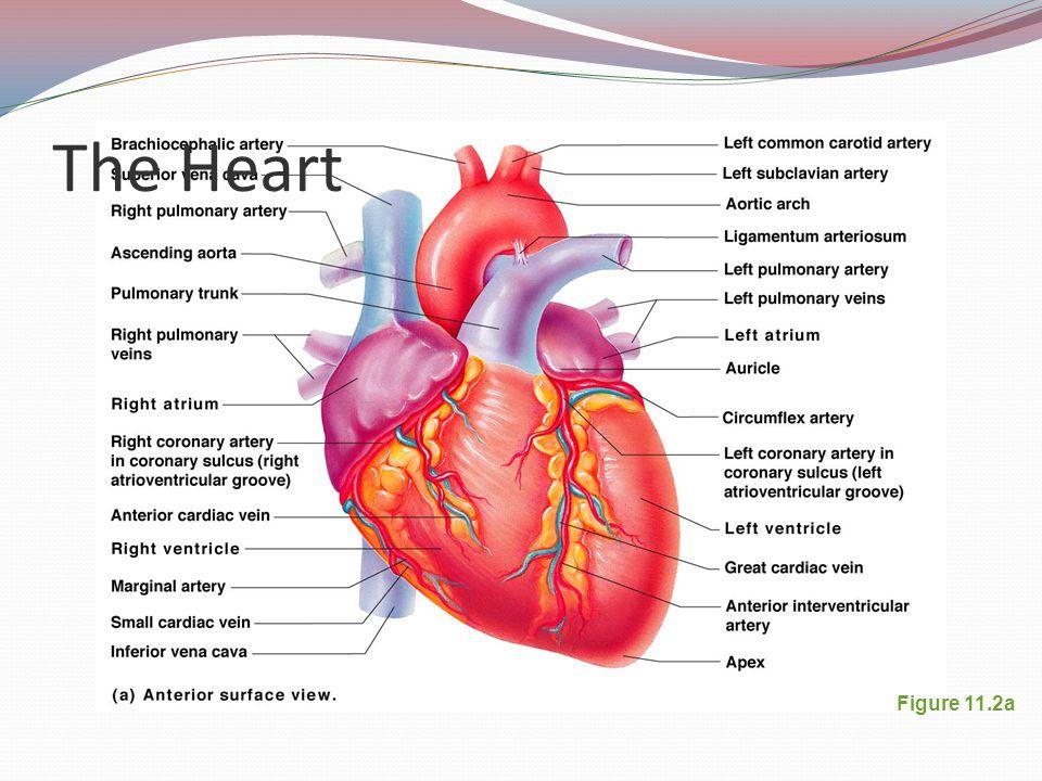 The Heart Figure 11.2a