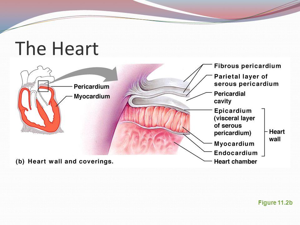 The Heart Figure 11.2b