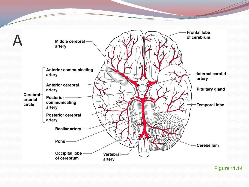 Arterial Supply of the Brain Figure 11.14