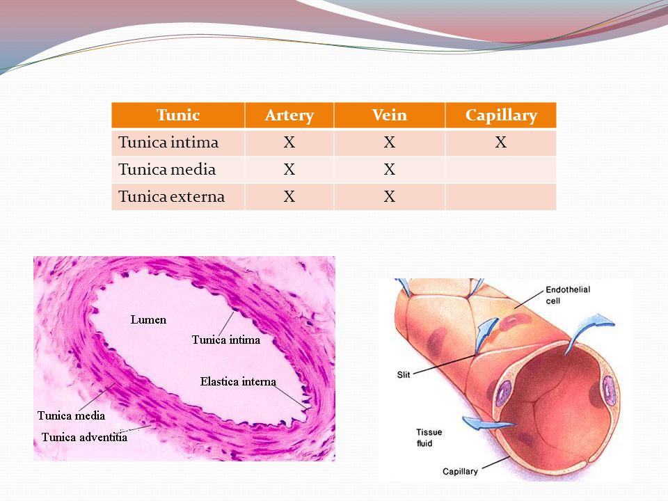 Capillary Beds Capillary beds consist of two types of vessels Vascular shunt—vessel directly connecting an arteriole to a venule True capillaries—exchange vessels Oxygen and nutrients cross to cells Carbon dioxide and metabolic waste products cross into blood