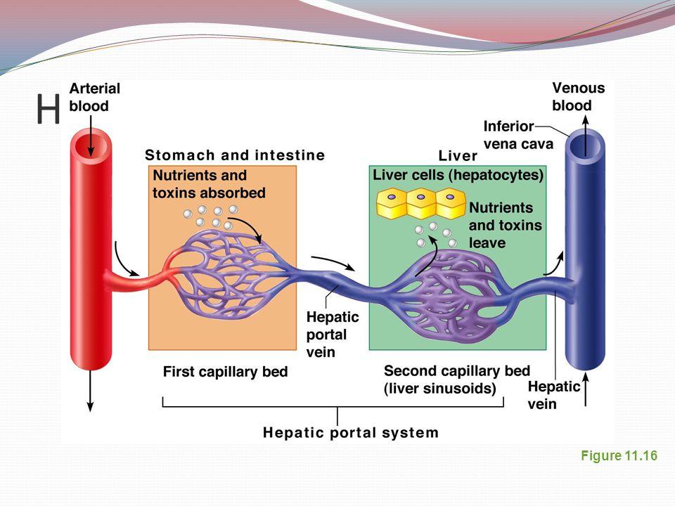 Hepatic Portal Circulation Figure 11.16