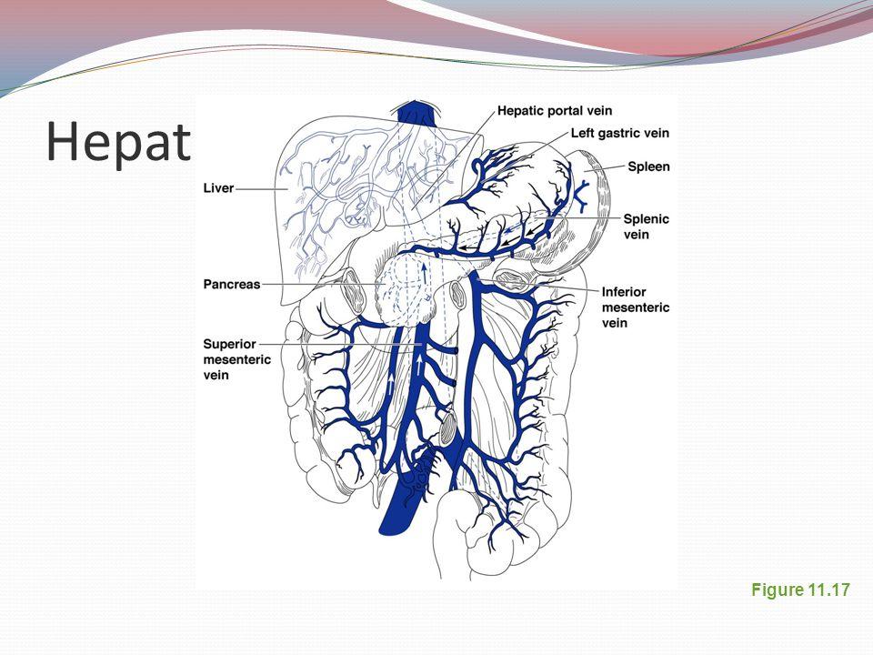 Hepatic Portal Circulation Figure 11.17