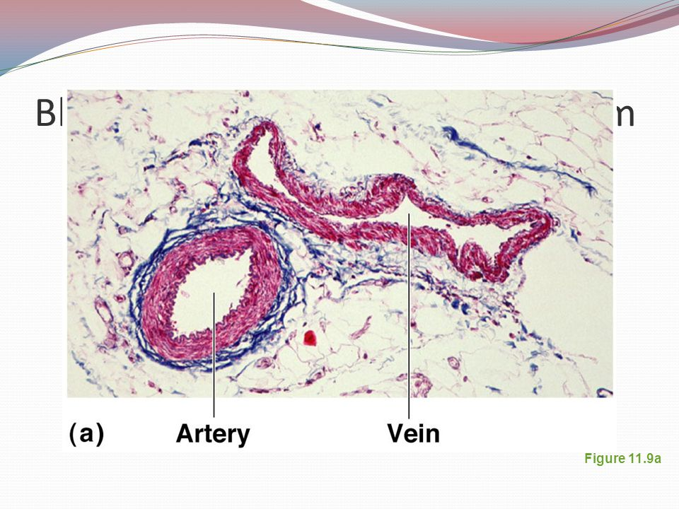 Blood Vessels: Microscopic Anatomy Three layers (tunics) Tunic intima Endothelium Tunic media Smooth muscle Controlled by sympathetic nervous system Tunic externa Mostly fibrous connective tissue