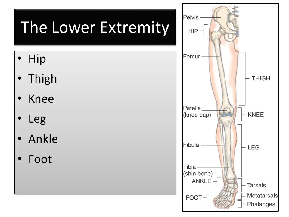 The Lower Extremity Hip Thigh Knee Leg Ankle Foot Hip Thigh Knee Leg Ankle Foot